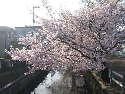 160406桜久宝寺口 (2)●.jpg